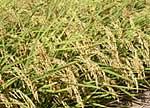 穀類のプリン体含有量